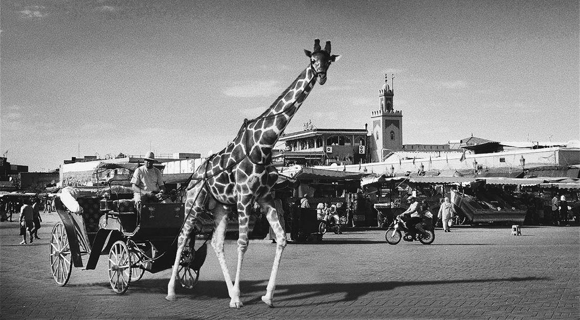 Photo1-girafa(40X22.08)